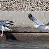 Western Gulls