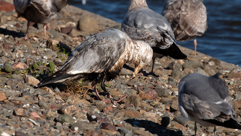 Herring Gull with oil