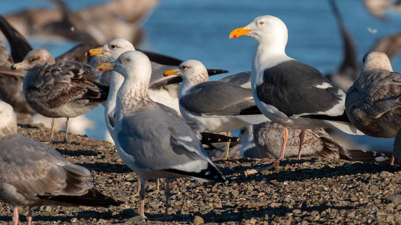 Mixed Gull Flock