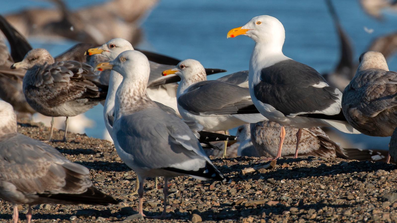 Larus Gulls