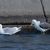 Glaucous-winged and Western Gull