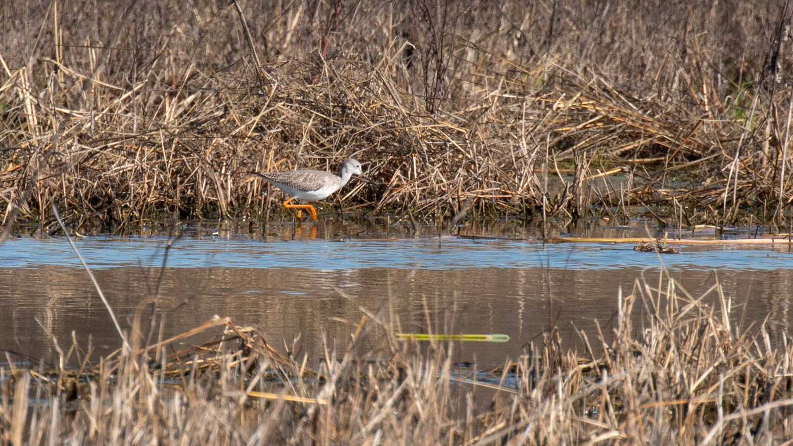 Photograph of a Greater Yellowlegs