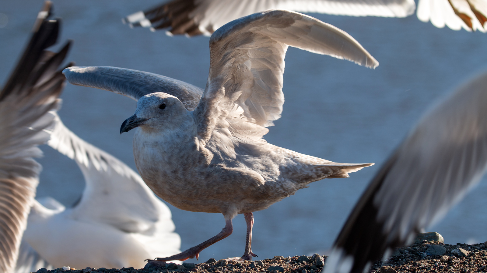 Glaucous-winged Gull – 1st Cycle