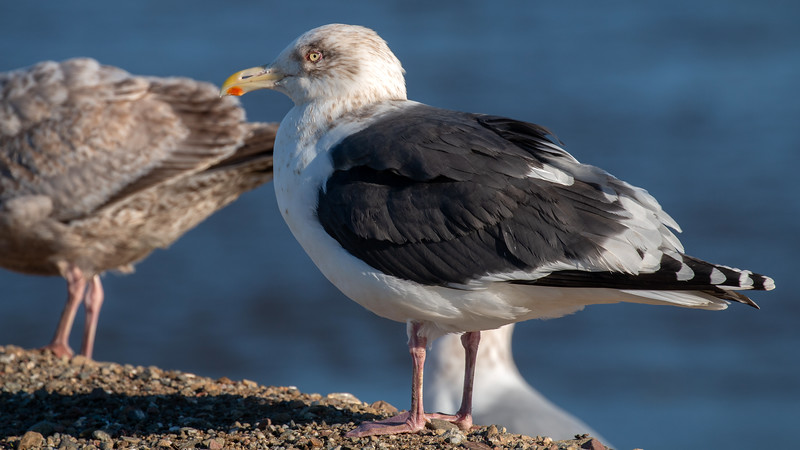 Slaty-backed Gull - adult