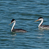 Western and Clark's Grebe