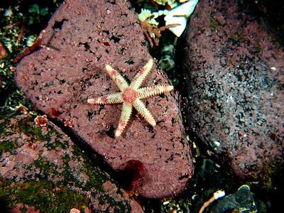 Leptasterias hexactis (six-arm star)