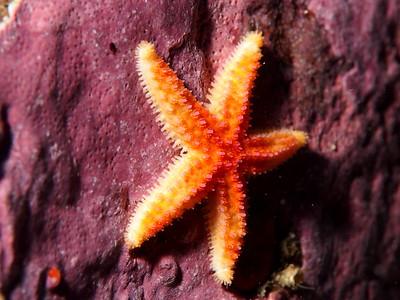 Orthasterias koehleri (rainbow star)