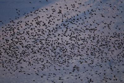 Euopean Starling  Pearsonville 2014 12 16-1.CR2