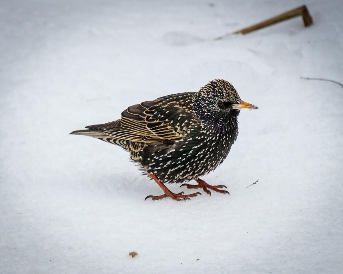 Starling on Snow
