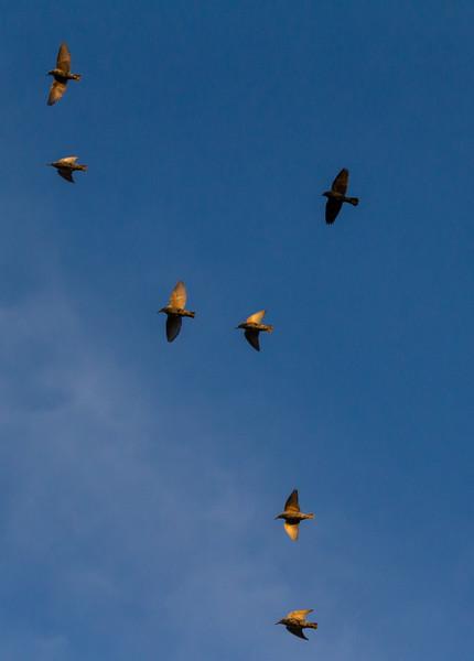European Starlings with Brown=headed Cowbird