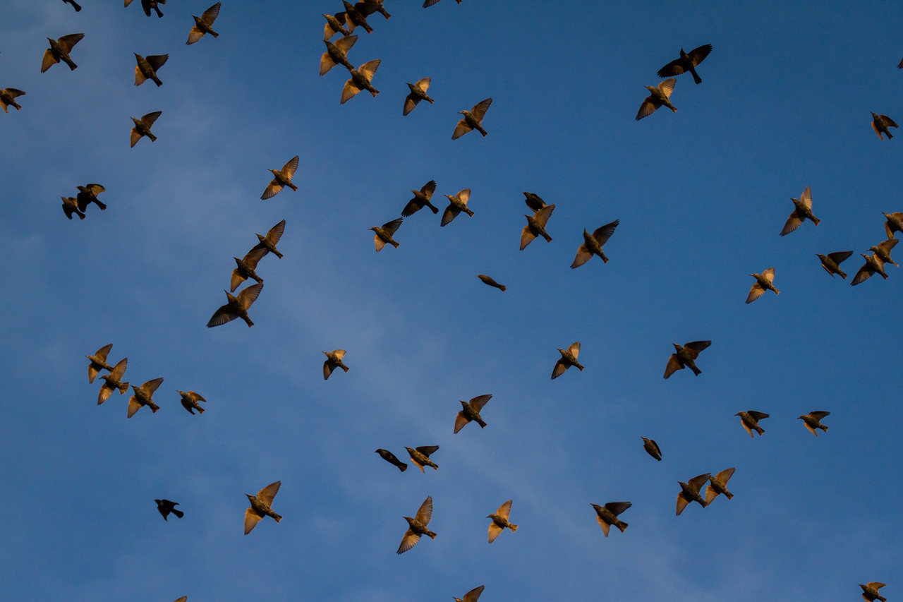 Starlings and Cowbirds and Blackbirds  in Flight in Illinois