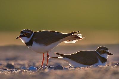 Sieweczka rzeczna. Para ptaków przy gnieździe.  ©Paweł Pawlak - fotografia przyrodnicza
