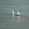 And Then There Were Two White Pelicans