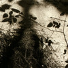 Shadowed Leaves  - Starved Rock State Park IL