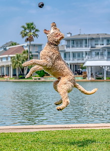 Meet Kona! Male Golden Doodle playing in Galveston, Tx