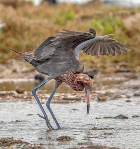 "The Reddish egret ""umbrella's) his wings before spearing his prey"