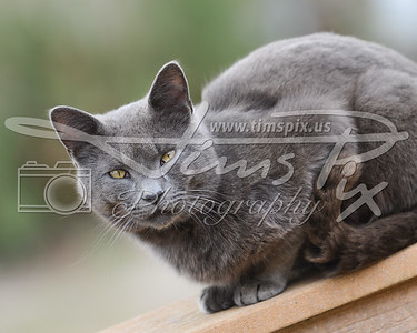 Menacing Gray Cat