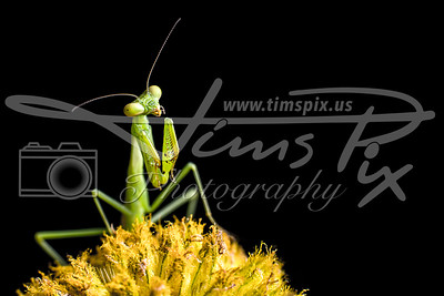 Praying Mantis on Seed Head.tif