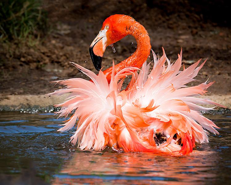 Bathing Flamingo