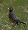 American Robin<br /> <br /> No, Robins do not have a crest, it was standing with it's back to some very strong winds.