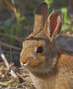 Rabbit (Juvenile)
