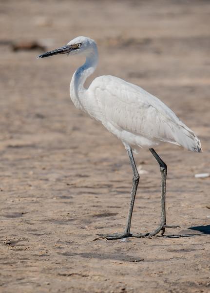 Reddish Egret (Immature White Morph)