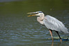 Great Blue Heron eating a small fish
