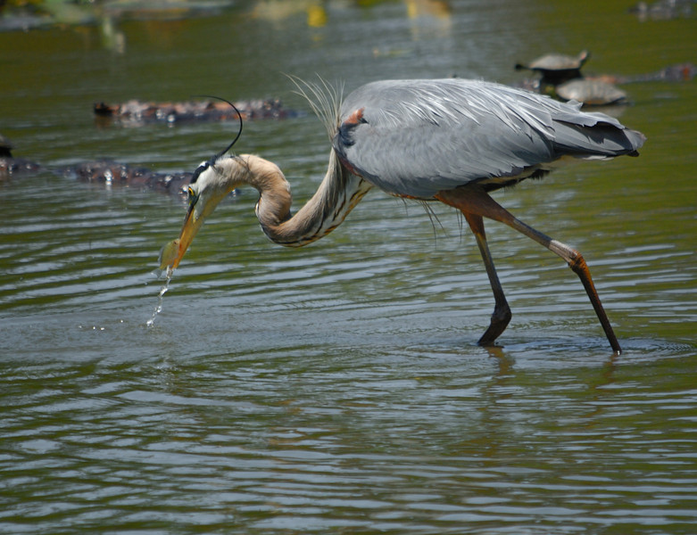 Great Blue Heron catching a small fish