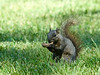 Fox Squirrel (Dark Phase)