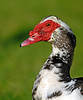 Muscovy Duck <br /> (Domesticated Duck)