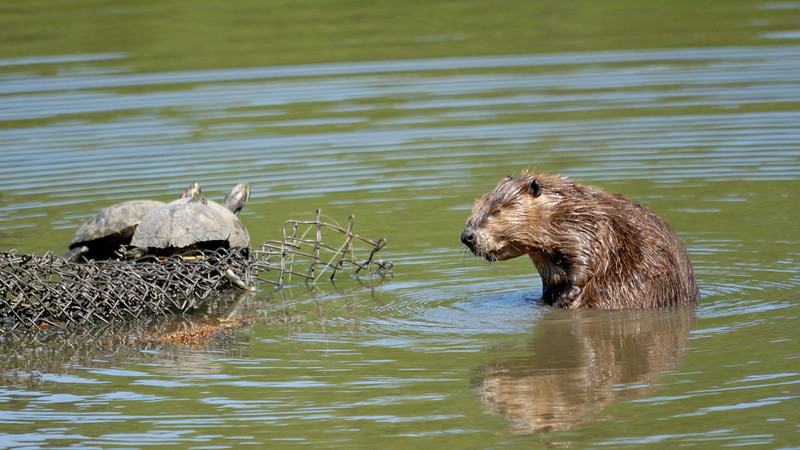 Beaver and Red-Eared Slider turtles