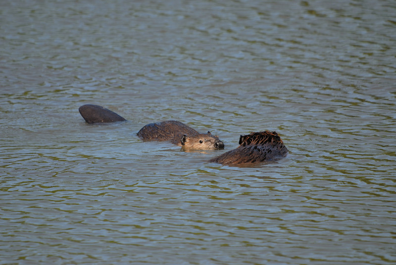 Beavers swimming after park personel destroyed their den while deepening the lake.
