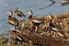 Black-bellied Whistling Ducks<br /> <br /> It's always good to keep your ducks in a row!  :-)