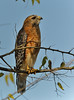 Red-shouldered Hawk<br /> <br /> This hawk landed on a branch several yards ahead of me and then allowed me to walk past it and take several photos before it flew away.