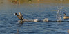 American Coot Running on Water