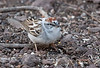 Chipping Sparrow (Pied Plumage)