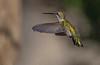 Black-chinned Hummingbird (Female)