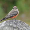 Vermillion Flycatcher (Immature Male)
