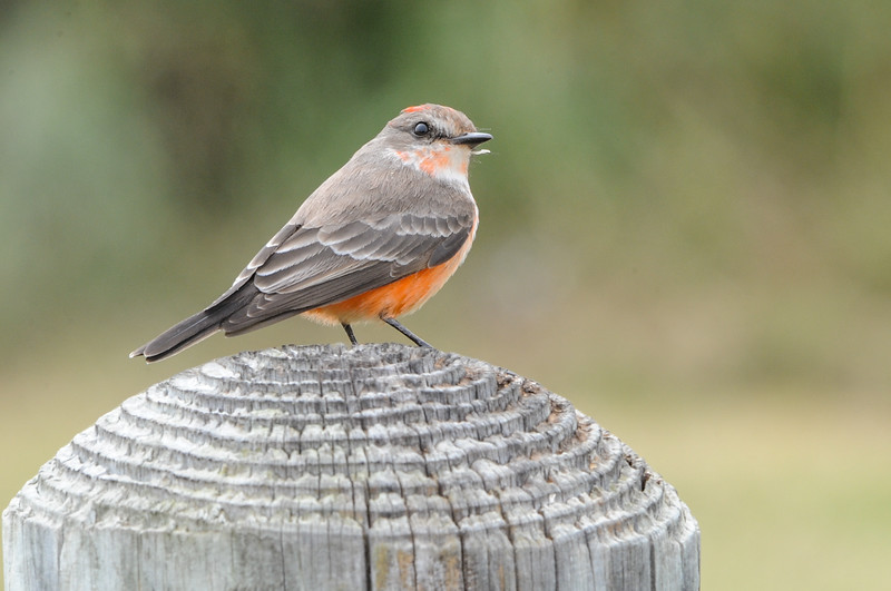 Vermillion Flycatcher (Immature Male)