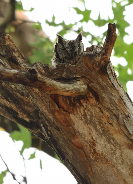 Eastern Screech Owl<br /> <br /> This female Screech Owl was sitting on her nest in this hollow tree.