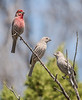 House Finches (male on top left)