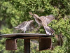 House Finch & Lark Sparrow in a confrontation