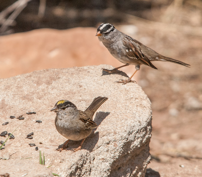 Golden-crowned Sparrow (foreground) & White-crowned Sparrow (Background)