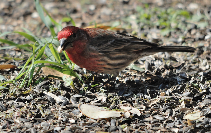 House Finches were constantly present and the males like this one were quite pretty with their red head and chest.