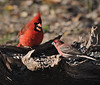 Northern Cardinal (Male)<br /> House Finch (Male)