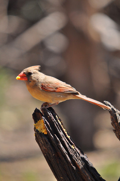 Normal Colored Female Cardinal