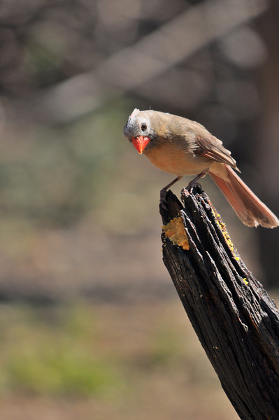 This is female cardinal but note the white face.  This is unusual according to the park volunteer at the bird blind.