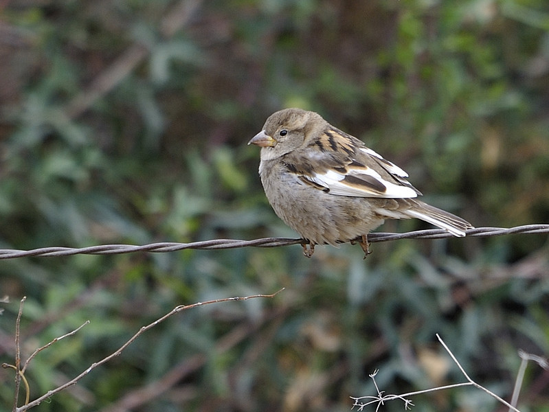 """House Sparrow (Female)<br /> <br /> This bird was very unusual in that she was a """"Piebald"""" bird.  Piebald or """"Pied"""" is when an animal has some, but not all Leucistic features.  Leucism is when there is reduced pigmentation, not to be confused with albinism."""