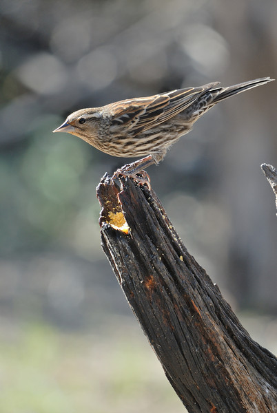 This is a female Red Wing Blackbird.