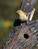 American Goldfinch (Female)